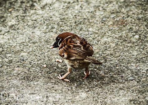 Sparrow eating grain